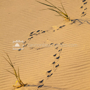 Bird Prints in the Dunes