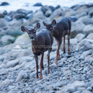 Deer Walking the Rocky Seashore in Seaside, Oregon