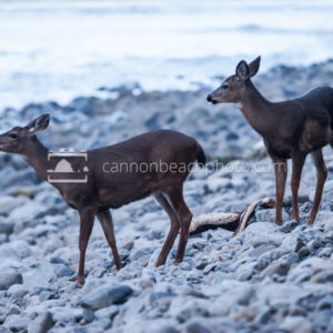 Deer on the Beach in Seaside, Oregon