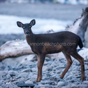 Doe on the Beach in Seaside, Oregon