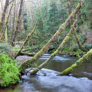Ecola Creek Tree Scene