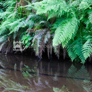 Ferns Reflecting Reach