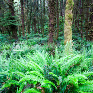 Glade of Sword Fern