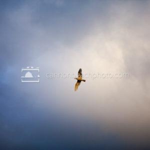 Juvenile Seagull Flight