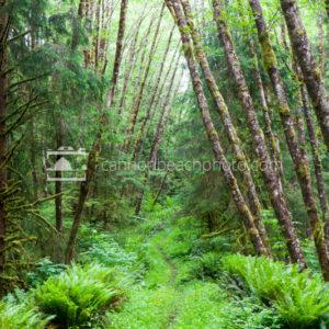 Leaning Alder Trees