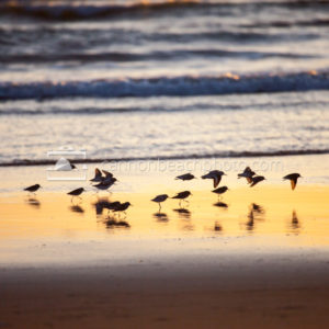 Sandpipers Oregon Shore at Sunset 1