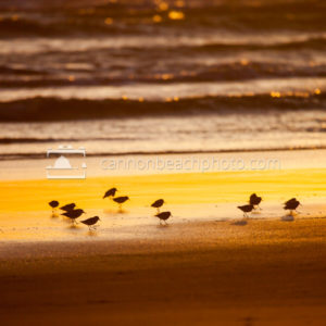 Sandpipers Oregon Shore at Sunset 2