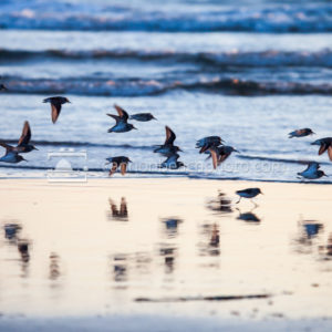 Sandpipers Oregon Shore at Sunset 4