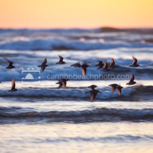 Sandpipers in Flight at Sunset