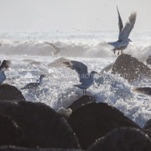 Seagulls Escape an Incoming Wave 4