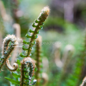 Sword Fern Fiddlehead, Horizontal