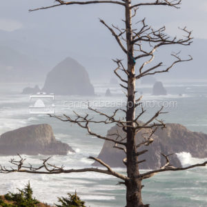 Beautiful Tree Portrait at Ecola Point