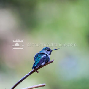 Rufous Humming Bird Vertical