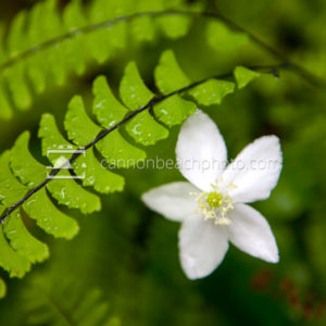 Beautiful Woodland Anemone