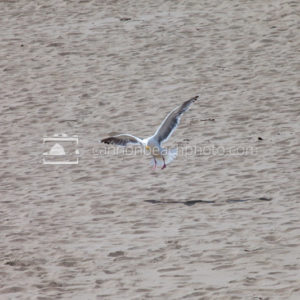 Seagull Taking Off from Footprinted Shore