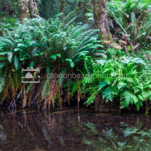 Ferns on the Edge of Ecola Creek