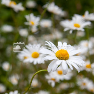 White Daisy Vertical