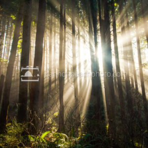 Always Hope – Golden Forest Beams