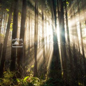Always Hope – Golden Forest Beams