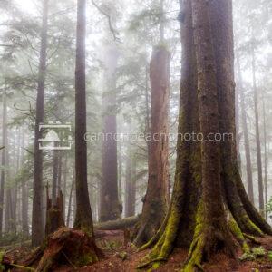 Mist in Trees, Falcon Cove