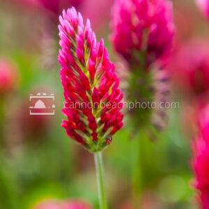 Red Clover or Trifolium Pratense, Vertical