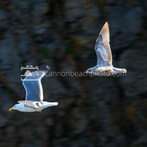Two Seagulls in Flight