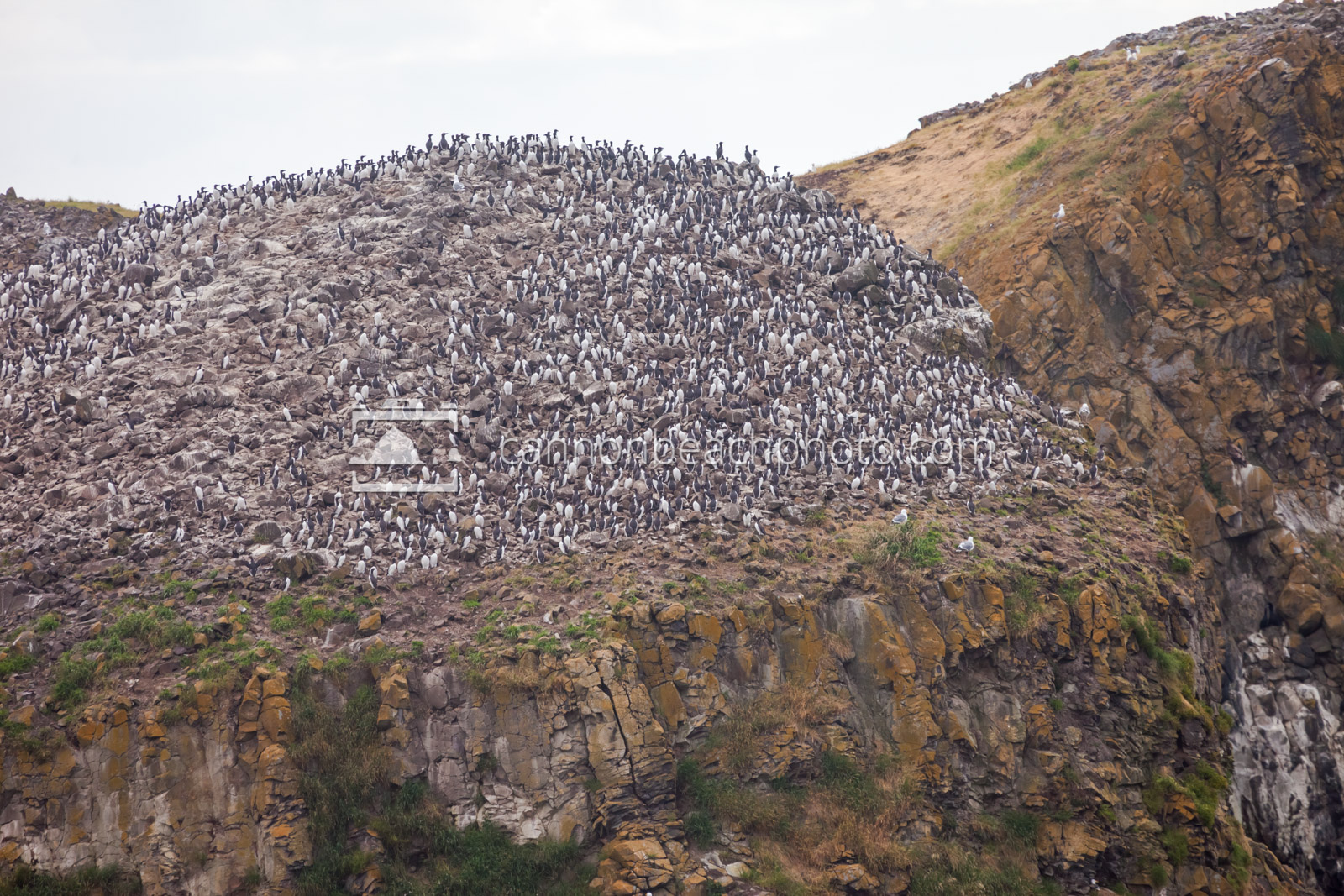 Murre Colony at Chapman Point