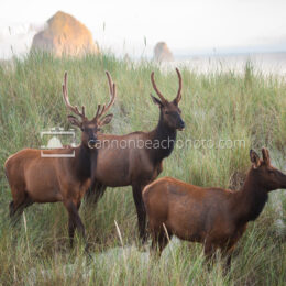 Elk Group in the Dunes