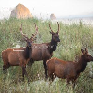 Elk Group in the Dunes