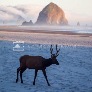 Elk Walking the Beach