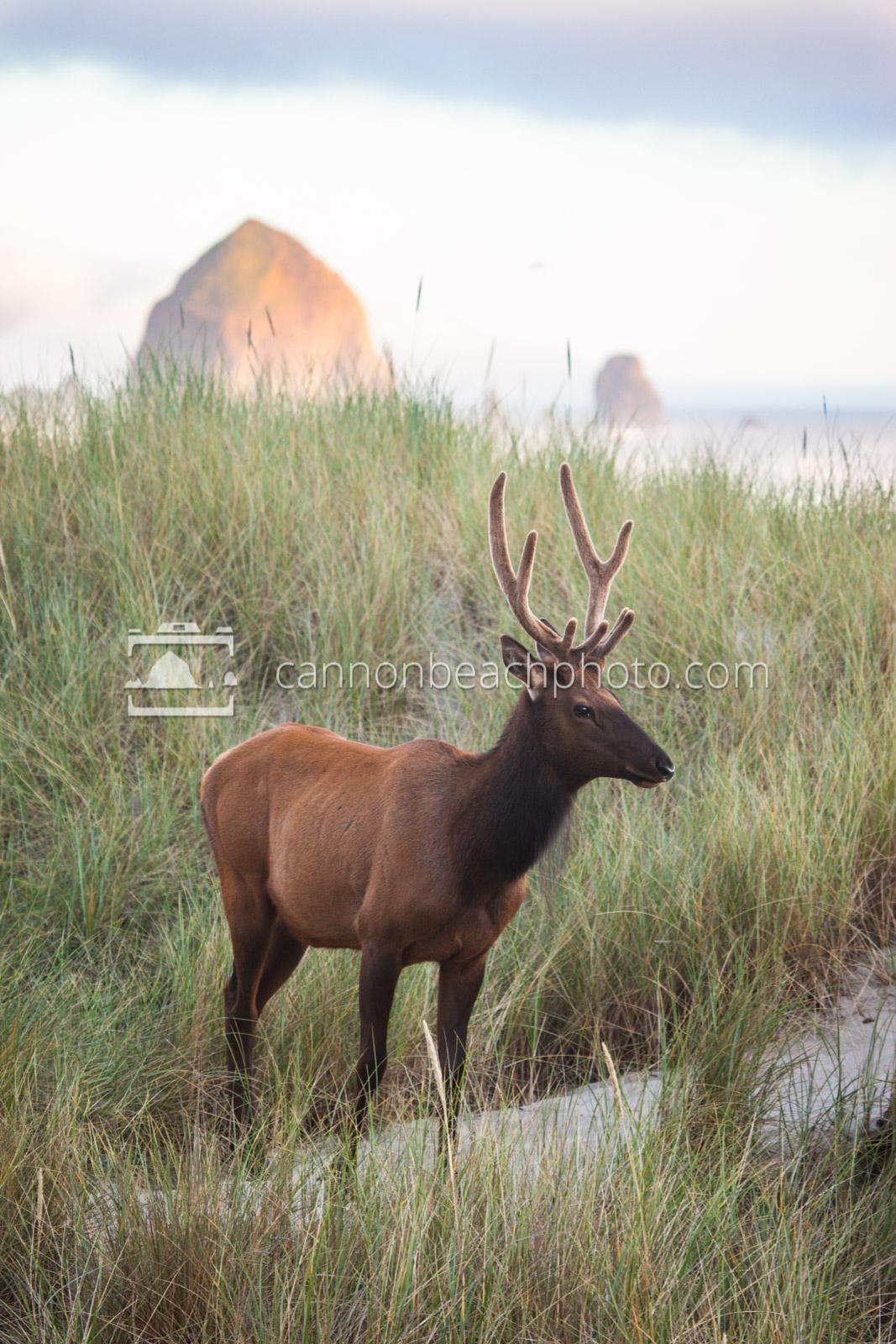 Elk in the Dunes