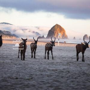 Group of Elk Walking the Beach