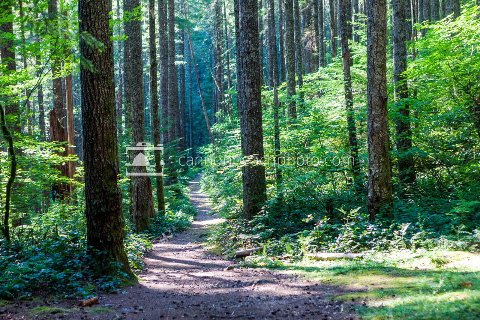 Sunlit Path thru the Tall Forest, Horizontal