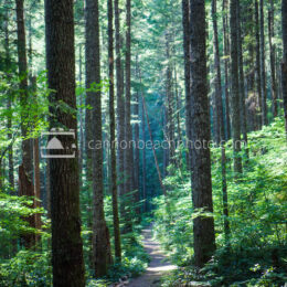 Sunlit Path thru the Tall Forest, Vertical