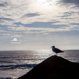 Seagull Indian Beach Perch