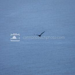Crow Flight - Pacific Ocean