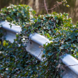 Ivy Overgrows the Guard Rails