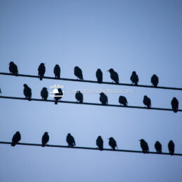 Flock on Wire (Vertical)
