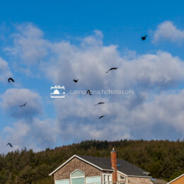 Crows Flying Over Cannon Beach with Clouds