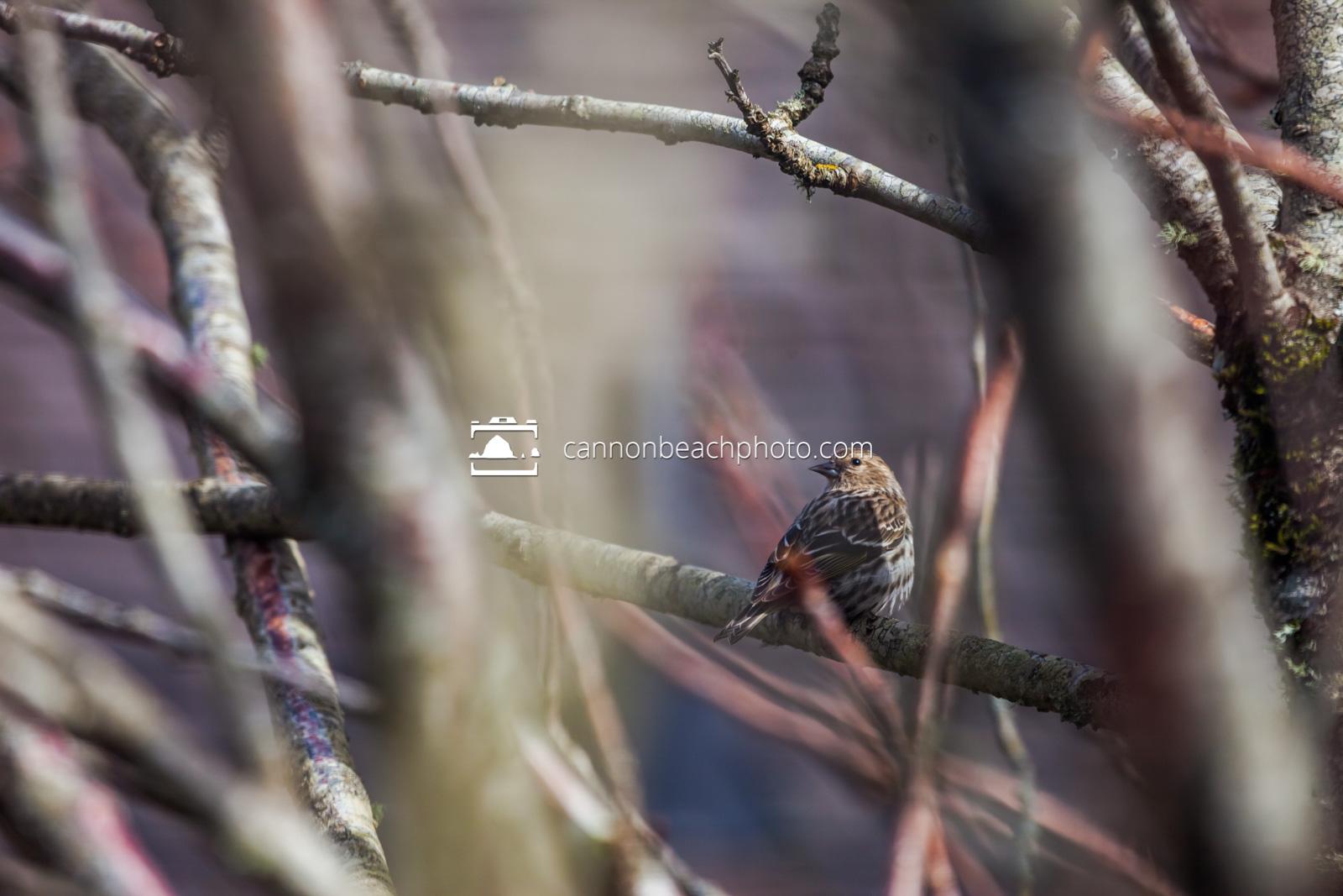 Pine Siskin Perch 2