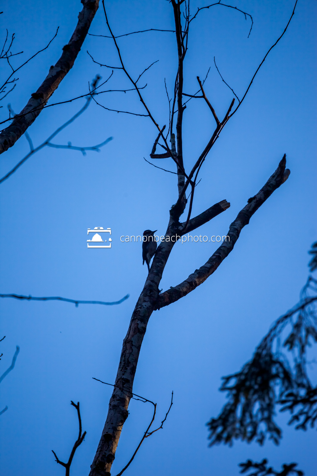 Woodpecker and Blue Sky